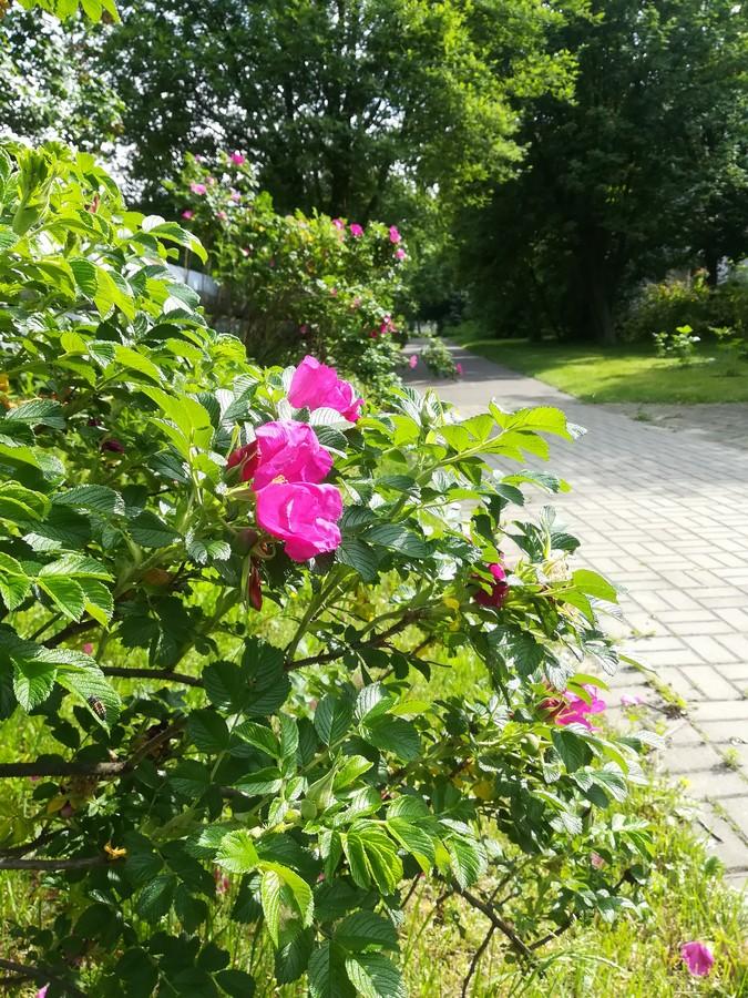 Róże w ogrodzie sensorycznym